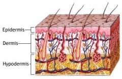 The Three Layers of a Human Skin
