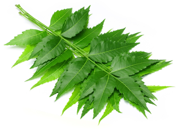 Neem tree leave